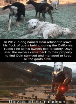 Alive, Fire, and California: In 2017, a dog named Odin refused to leave  his flock of goats behind during the California  Tubbs Fire as his owners fled to safety. Days  later, the owners came back to their property  to find Odin survived and managed to keep  all the goats alive.  They called me a madman Now who's a good boy