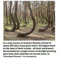 """Curving, Memes, and Trunks: In a tiny corner of western Poland a forest of  about 400 pine trees grow with a 90 degree bend  at the base of their trunks all bent northward.  Surrounded by a larger forest of straight growing  pine trees this collection of curved trees, or  """"Crooked Forest."""" is a musteru. Nature"""