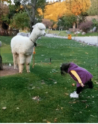 9gag, Memes, and Rude: In alpaca culture, this is considered rude. - alpaca greeting 9gag