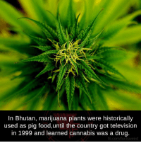 Drugs, Memes, and fb.com: In Bhutan, marijuana plants were historically  used as pig food,until the country got television  in 1999 and learned cannabis was a drug.  fb.com/factsweird