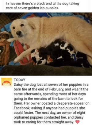 Desperate, Dogs, and Facebook: In heaven there's a black and white dog taking  care of seven golden lab puppies  TODAY  Daisy the dog lost all seven of her puppies in a  barn fre at the end of February, and wasn't the  same afterwards, spending most of her days  going to the remains of the barn to look for  them. Her owner posted a desperate appeal on  Facebook, asking if anyone had puppies she  could foster. The next day, an owner of eight  orphaned puppies contacted her, and Daisy  took to caring for them straight away. Dogs are angels