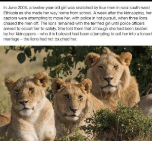 Lions to the rescue.: In June 2005, a twelve-year-old girl was snatched by four men in rural south-west  Ethiopia as she made her way home from school. A week after the kidnapping, her  captors were attempting to move her, with police in hot pursuit, when three lions  chased the men off. The lions remained with the terrified girl until police officers  arrived to escort her to safety. She told them that although she had been beaten  by her kidnappers-who it is believed had been attempting to sell her into a forced  marriage -the lions had not touched her Lions to the rescue.