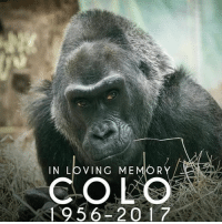This is sad, but I hope we dont have another gorilla Meme this year: IN LOVING ME  R  COLO  1956 2017 This is sad, but I hope we dont have another gorilla Meme this year