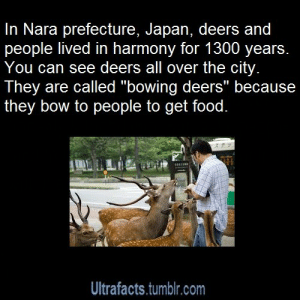 "ultrafacts:  reinatamblr:  reinatamblr:  bye-bye-deadman:  ultrafacts:  Source For more posts like this, follow Ultrafacts  Those deer going to start an uprising.  I will find me some deer in July and see if this is really true  The deer really do roam the city freely. Although they congregate mainly in the park, they traverse around different parts of the city by pedestrian crossing. They seem to observe traffic rules. The males pose steadily when they see a camera, while the females shy away from the lens. They tolerate your touch as long as there is that potential promise of food. No food no touch. They can be aggressive (I pity the lady who was head butted and charged by a deer with 30cm antlers, but for the most part they mostly nip at your clothing and run against you to get attention. I told a deer ""dame"" (don't in Japanese) and he stopped rubbing his head against me, took a step back, and started ""rubbing"" his head in the empty space next to me, which I think is considered bowing.  : In Nara prefecture, Japan, deers and  people lived in harmony for 1300 years.  You can see deers all over the city.  They are called ""bowing deers"" because  they bow to people to get food.  Ultrafacts.tumblr.com ultrafacts:  reinatamblr:  reinatamblr:  bye-bye-deadman:  ultrafacts:  Source For more posts like this, follow Ultrafacts  Those deer going to start an uprising.  I will find me some deer in July and see if this is really true  The deer really do roam the city freely. Although they congregate mainly in the park, they traverse around different parts of the city by pedestrian crossing. They seem to observe traffic rules. The males pose steadily when they see a camera, while the females shy away from the lens. They tolerate your touch as long as there is that potential promise of food. No food no touch. They can be aggressive (I pity the lady who was head butted and charged by a deer with 30cm antlers, but for the most part they mostly nip at your clothing and run against you to get attention. I told a deer ""dame"" (don't in Japanese) and he stopped rubbing his head against me, took a step back, and started ""rubbing"" his head in the empty space next to me, which I think is considered bowing."