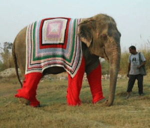 In northern India, the 20 elephants who live at the Wildlife SOS are keeping warm with Jumbo Jackets knit by animal lovers in the area.: In northern India, the 20 elephants who live at the Wildlife SOS are keeping warm with Jumbo Jackets knit by animal lovers in the area.