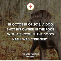 """Dogs, Memes, and The More You Know: IN OCTOBER OF 2015, A DOG  SHOT HIS OWNER IN THE FOOT  WITH A SHOTGUN. THE DOG'S  NAME WAS """"TRIGGER"""".  THE MORE YOU KNOW  @FACTBOLT"""