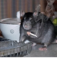 In Russia, a rat with a cigarette is a common sight cigarette rat smoke lol: In Russia, a rat with a cigarette is a common sight cigarette rat smoke lol