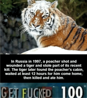 Home, Russia, and Tiger: In Russia in 1997, a poacher shot and  wounded a tiger and stole parrt of its recent  kill. The tiger later found the poacher's cabin,  waited at least 12 hours for him come home,  then killed and ate him.  100  GET FUCKED Don't mess with a TIGER