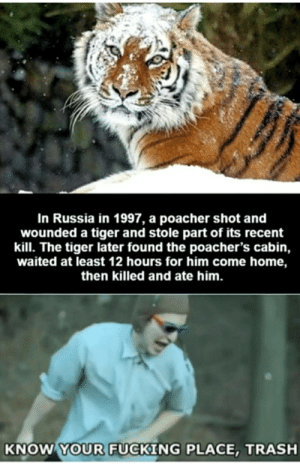 Fucking, Reddit, and Trash: In Russia in 1997, a poacher shot and  wounded a tiger and stole part of its recent  kill. The tiger later found the poacher's cabin,  waited at least 12 hours for him come home,  then killed and ate him.  KNOW YOUR FUCKING PLACE,TRASH Russians, are you guys alright over there?
