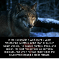 Moon Moon Wolf: In the 1910s/20s a wolf spent 9 years  massacring livestock in the town of Custer,  South Dakota. He evaded hunters, traps, and  poison. He kept two coyotes as servants/  lookouts. And when he was finally killed the  government issued a press release.