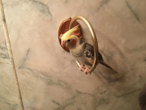Shower, Steam, and Him: In the morning, Wally insists on being in the bathroom with me when I shower. So I rotated the hand towl holder so he has a place to sit. He loves the steam from the shower and sings until I get out of the shower. I think it fits him perfectly.