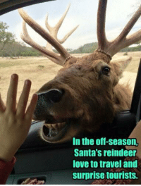 Memes, Travel, and 🤖: In the off-season.  Santa's reindeer  love to travel and  surprise tourists.