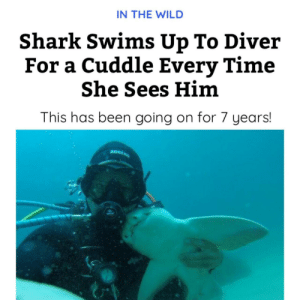Wholesome shark: IN THE WILD  Shark Swims Up To Diver  For a Cuddle Every Time  She Sees Him  This has been going on for 7 years!  ADRENS Wholesome shark