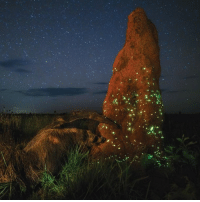 Memes, Taken, and Brazil: In this stellar photograph by Marcio Cabral, an abandoned termite mound has been taken over by firefly larvae. The distinct green glow is from bioluminescent chemicals found in the larvae heads. The function of this light is to lure prey such as butterflies, termites, and ants to their death. The picture was taken by Cabral in Brazil's Emas National Park. bioluminescence lights nature science