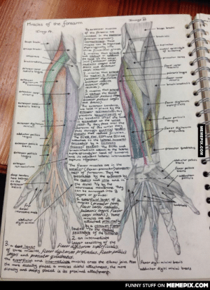 Drawing is how I procrastinate at med schoolomg-humor.tumblr.com: Inage B  Muscles of the forearm  Theenbenseruies  Locabed in whe aecier  eneerpinater)  areactss. Thee  mles can ganind  elelgienly in.  ehre funeti ge  1. elestt t  brchialis  pinater  ndyle  medielop le  of humeren  anceneus  -pranate teres  the hand the wniat  jeint (erteser cap  radinlis angs and  brenisnd rtenser  sarpi snan).  2.muscles Ehat setend  the setial 4 firges  Cartenser digitam,  ertenser in2ces,  ertenser digiti  minimi).  3. muscies ehat setend  Or duct ehe thungb  (ahluctor pellicis larg  Crtenser pellicis lengus  and brens)  The extenser tendons.  Tedialis  eteneercrei  radiali legs  paimaris lorgs  -fiener carpi  insris  tenser  aigiterum  coommnia)  --rachierechalis  etenser carpi  ulnaris  -flexor digiterum  penalis  utenser carp  nakialis brovis  Extensor tinaculu, tis  prevents keewstringing of  che tendens when ehe hand  stande at the wrist  jaint. As they pass over ehe  dorsum of he wrist they  Pass through synovial tendon  Sheaths tha reduce friction.  The ECRB,EDC, EDMand ECU ae  attached te ehe lateral humeral  Spicendyle by a semmen  eatensor bendon. The ECRL and  brachieradialis attach to the lateral  supra epicondy ler head of humerus  and its adjacent lateral intermusular  septum rogether.  -fiexor pellicis  lengus  tensor digiterum  minimi  Flovor digiterum  prefundus  abducter peilicis  lengus  etenser pellicis  bvis  pronator quadratus  extensor pollicis  Tongus  abducter polials  brevis  extensor  retinaculum  The flenor muscles are in the  anterior CAlener- pronator)cempart-  ment of forearm. They an  Ssparabed by the atensors by  the radius and uina and in  the distal 2, by the  interosseus membrane. They  can be arranged into 3  layers  1. superfisial layer, of  muscies Ceronator teres  fleror carpi radialis,  Palmaris longus, Fleror  carpi ulnaris). These  muscles are all  attached procimatly  flexor polliets  brevis  deep tenlen  here belengs  Ee che  Extensor  indicis  adductor  pelicis  or geoups:  fir  dorsal  interosseus msce  Lumbricals  abductor  digiti minimi  ya common fieror  tend on  Pto Ehe medial  spisondyle of the humerus  2. an intermediate  Layer consisting of the  flexor digitorum supěrficialis.  of three muscies, flerer digičorum profundus. fleror pollici's  3. dese layes  Zngus and pronatr quadratus.  The duperficial and intermediats muscles cross the elbow joint. Aiso |flexor digitiminimi brevis  the more distally placed a muscles distal attachment, the more  distally and deeply placed is its proximal attachment  adductor digiri minimi brovis  FUNNY STUFF ON MEMEPIX.COM  MEMEPIX.COM Drawing is how I procrastinate at med schoolomg-humor.tumblr.com