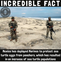 Memes, Cocaine, and Marines: INCREDIBLE FACT  SCIOUS  MARINA  G CONNECTING CONSCIOSNESS  Mexico has deployed Marines to protect sea  turtle eggs from poachers, which has resulted  in an increase of sea turtle populations 👏🏾👏🏾👏🏾 💭 Viva Mexico🇲🇽 💭 Better than using troops to smuggle cocaine into the country eh CIA?! 😂 💭 Let's hope this gives some ideas to other countries with poaching issues!
