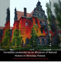 museum of natural history: Incredibly couloured ivy on Museum of Natural  History in Wroclaw Poland.