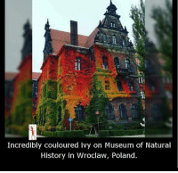museum of natural history: Incredibly Couloured ivy on Museum of Natural  History in Wroclaw, Poland.