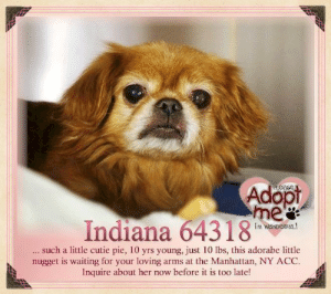 Indiana 6431 8 Such A Little Cutie Pie 10 Yrs Young Just 10 Lbs This Adorabe Little Nugget Is