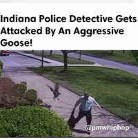 Memes, Police, and Indiana: Indiana Police Detective Gets  Attacked By An Aggressive  Goose!  apmw hiphop A police detective's embarrassing confrontation with a goose got the better of him. He attempts to defend himself with his bag, but the goose knocks him to the ground. - WATCH NOW AT PMWHIPHOP.COM LINK IN BIO