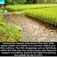 https://t.co/YvJYBK4ARi: Indonesian farmer introduced fish into their  water-laden rice fields in a process called rice  fish culture. The fish droppings act as fertiliser,  while the fish eat any insect pests and improve  oxygen circulation around the field increasing  rice yields by up to 10%. https://t.co/YvJYBK4ARi