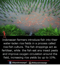 Memes, Fish, and Oxygen: Indonesian farmers introduce fish into their  water-laden rice fields in a process called  rice-fish culture. The fish droppings act as  fertiliser, while the fish eat any insect pests  and improve oxygen circulation around the  field, increasing rice yields by up to 10%  酎/didyouknowpagel  ) @d.dyouknowpage