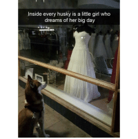 Funny, Husky, and Little Girl: Inside every husky is a little girl who  dreams of her big day I knew it (@hilarious.ted)