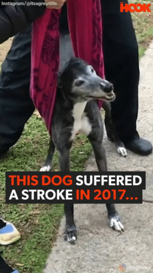 Facebook, Family, and Instagram: Instagram/@itsagreytlife  HOOK  THIS DOG SUFFERED  A STROKE IN 2017...  athebook WHAT A FIGHTER! After this family's dog had a stroke, they had the option to put her to sleep. They chose not to give up, and neither did she <3 #nevergiveup #everylifecounts  https://www.facebook.com/TheHookOfficial/posts/2950821074983331