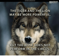 Tiger: INSTAGRAM TRUEACTIVIST  THE TIGER AND THE LION  MAY BE MORE POWERFUL,  BUT THE WOLF DOES NOT  PERFORM IN THE CIRCUS.  ACTIVIST