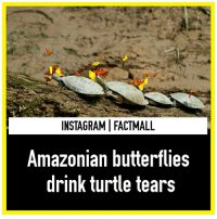 "Amazon, Memes, and Butterfly: INSTAGRAMIFACTMALL  Amazonian butterflies  drink turtle tears A photo being passed around the internet of a butterfly gently perched upon a turtle's eye has been fascinating viewers across the globe. Ama La Vida made Picture of the Year with the image entitled, ""Butterfly Drinks Tears From A Turtle's Eye."" That title has asked many to question whether or not the butterfly is actually drinking the turtle's tears. Animals in the wild have many fascinating behaviors – and, this is actually one of them. While we can't say for sure that this particular butterfly is actually doing that in the photo, the sight of butterflies flocking onto the heads of yellow-spotted river turtles in the western Amazon rain forest is not uncommon. Experts believe the butterflies are attracted to the turtles' tears because the liquid drops contain salt, specifically sodium, an important mineral that is scant in the western Amazon, according to Phil Torres, a scientist who does much of his research at the Tambopata Research Center in Peru and is associated with Rice University. Torres told LiveScience, unlike butterflies, turtles get plenty of sodium through their largely carnivorous diet. Meat contains significant levels of the salt. But herbivores sometimes struggle to get enough sodium and other minerals. They end up needing this extra mineral source."" He goes on to explain: ""This region is lower in sodium than many places on earth, because it is more than 1,000 miles from the Atlantic Ocean, a prime source of salt, and is cut off from windblown mineral particles to the west by the Andes Mountains. Dust and minerals make their way into the Amazon from the east, sometimes all the way from north Africa. But much of this material is removed from the air by rain before it reaches the western Amazon."" Torres believes the act has little impact on the turtles. They're also sometimes easier to photograph than unadorned animals, possibly because they're ""drowning in butterfly kisses,"" which means they're less likely to be able to spot an approaching photographer."