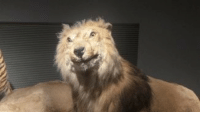Interdasting lion taxidermy: Interdasting lion taxidermy