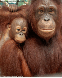 "Memes, Animal, and International: International Animal Rescue via Storyful  O International Animal Rescue After being saved by International Animal Rescue, Monti the orangutan has provided ""comfort and care"" to orphaned Anggun by becoming the infant orangutan's surrogate mother. Monti has been teaching little Anggun crucial skills, such as opening coconuts, and soothes her when she cries."