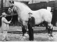 "Apple, Bailey Jay, and Facebook: Internationat Museuraofthe  Keatucky Horse Park la-volpe-bianca: memeseverdie:  memeseverdie:   scarlettjane22:     The world's biggest horse, Brooklyn Supreme, standing 78 inches tall and weighing in at 3,200 pounds.     History In Pictures     Thicc   ""Brooklyn Supreme may be 3,200 pounds of solid, magnificent horse flesh, sinew and brawn, but Brooklyn Supreme is a surprisingly gentle fellow whose greatest delight is stealing ice cream cones and goodies from unsuspecting little boys and girls.""  ""Yes sir he just love sweets,"" his exhibitor Ralph M Fogleman explains. ""You watch and see what happens when that kid comes in with that candied apple on a stick. Sure enough, a youngster stood entranced below the towering head and shoulders above him. His candied apple was momentarily forgotten. Brooklyn Supreme calmly reached down, picked it out of his hand, and in a twinkling had separated sweet from stick and stood there smacking his lips.""   I LOVE HIM"