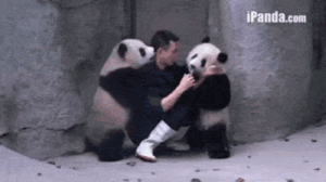 Tumblr, Blog, and Http: iPanda.com lolzandtrollz:  Man Struggles To Give These Two Pandas Their Medicine