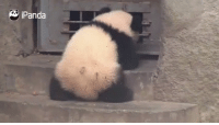 Open sesame! Tag someone who is as clumsy as this baby panda. (By iPanda): iPanda Open sesame! Tag someone who is as clumsy as this baby panda. (By iPanda)