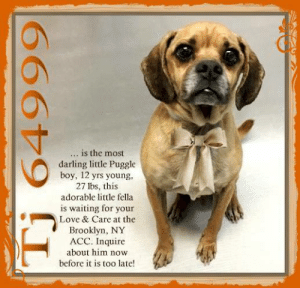 Being Alone, Animals, and Bones: is the most  ...  darling little Puggle  boy, 12 yrs young,  27 lbs, this  adorable little fella  is waiting for your  Love & Care at the  Brooklyn, NY  ACC. Inquire  about him now  V  before it is too late!  Tj 64999 **FOSTER or ADOPTER NEEDED ASAP** Tj 64999 is the most darling little Puggle boy, 12 yrs young, 27 lbs, this adorable little fella is waiting for your Love & Care at the Brooklyn, NY ACC. <3 For a New Family to Know: TJ is described as friendly, affectionate, and playful. He loves to cuddle, play fetch, eat, and play tug and will be in the same room as someone when someone is home. TJ will play with balls and bones, has been kept mostly indoors and will sleep in his cage. He will use the potty on cement, is well behaved when left home alone and does well in a crate for 4 hours. TJ understands how to sit, come, down, stay, and give paw. He will go on brisk walks on the leash, pulls lightly and wanders when off the leash but comes when called. A good little boy! <3 Inquire about him now before it is too late!  ✔Pledge✔Tag✔Share✔FOSTER✔ADOPT✔Save a life!  Tj 64999 Small Mixed Breed Sex male Age 11-12 yrs (approx.) - 27 lbs  My health has been checked.  My vaccinations are up to date. My worming is up to date.  I have been micro-chipped.  I am waiting for you at the Brooklyn, NY ACC. Please, Please, Please, save me!  **************************************** *** TO FOSTER OR ADOPT ***   If you would like to adopt a NYC ACC dog, and can get to the shelter in person to complete the adoption process, you can contact the shelter directly. We have provided the Brooklyn, Staten Island and Manhattan information below. Adoption hours at these facilities is Noon – 8:00 p.m. (6:30 on weekends)  If you CANNOT get to the shelter in person and you want to FOSTER OR ADOPT a NYC ACC Dog, you can PRIVATE MESSAGE our Must Love Dogs - Saving NYC Dogs page for assistance. PLEASE NOTE: You MUST live in NY, NJ, PA, CT, RI, DE, MD, MA, NH, VT, ME