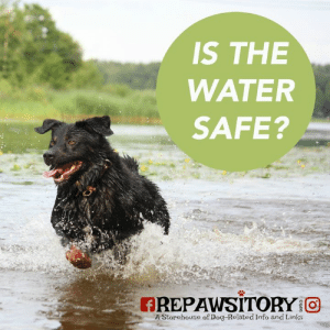 WATERBORNE ILLNESS IN DOGS ~~Anthony . Seeing as we are pretty much smack dab in the middle of summer, in the height of the heat and humidity when bodies of water are at their warmest, I thought this post appropriate.  . Waterborne illness in dogs can be a serious and life threatening situation. However, it doesn't have to be and with a few precautions to keep in mind, your furry loved one can enjoy a dip in the water without suffering complications afterwards.  . For most of us, as dog owners, we are aware of the more common waterborne dangers that can affect our pets if we don't take proper precautions to protect them. Those dangers include, but are not limited to, Leptospirosis, Giardiasis, Cryptosporidiosis and Pythiosis, to name a few.  I'd encourage you to take a look at the Learn More Links below on this post to read more about these waterborne dangers and how to avoid them.  . What I'd like to focus on in this post is a waterborne danger that some may not even know about, or have recently just heard of as it prevalent in the news today. . Blue-Green Algae (BGA) is making headlines and it's not good news.  Also known as Cyanobacteria, these microscopic organisms live in both fresh and salt water at or below the surface.  Late summer and early fall seem to be the height of these algal blooms, as this is usually when water bodies are at their warmest and most stagnant.  However, given the number of BGA-related dog deaths lately, it's obvious that when conditions are right, it can happen anytime of the year.  BGA becomes present in water when weather/climate and nutrients, such as nitrogen and phosphorus caused by fertilizer and/or sewage runoff become abundant enough to cause a bloom. . Cyanobacteria blooms are typically blue-green in color, but can also be brown or red.  Sometimes the blooms aren't detectable to the naked eye, when they are below the waters surface, which makes it all the more dangerous as we do not see the danger that lurks below.  Seeing as the blooms tend to collect near the shoreline of a watercourse, this makes it all the more dangerous as this is where people and pets tend to frequent.  . The following is a list of symptoms in dogs caused by exposure to BGA; vomiting, shock, coma, diarrhea, excessive drooling or tearing, blood in the stool or black tarry stool, pale mucous membranes, muscle tremors, jaundice, seizures, disorientation and difficulty breathing. . When a dog ingests water that is laden with cyanobacteria, toxins can cause liver damage or failure and in these circumstances veterinary medical care is required immediately in order to avoid permanent liver damage or death. . According to Dr. Karen Becker, exposure to another type of toxin found in blue-green algae, anatoxins, results in nervous system symptoms and can bring death in minutes to hours due to respiratory paralysis. . The American Kennel Club suggests several ways to help your dog avoid being exposed to Blue-Green Algae, which include keeping your dog leashed around bodies of water, especially if the water appears dirty, foamy, or has mats on the surface of the water.  Don't let your dog drink out of ponds and lakes.  Harmful algae blooms, which can be blue, vibrant green, brown or red, are sometimes mistaken for paint floating on the water.  Be aware that the toxins aren't always visible. Toxic algae often stink, sometimes producing a downright nauseating smell, yet animals may be attracted to the smell and taste of them, according to the EPA. . Because there is currently no vaccine or medicine to counteract the poisoning caused by exposure to BGA, it is extremely important to be educated on the topic and recognize BGA when you see it.  Check with your governing authorities and water condition reports for dangers of algae blooms. If your dog becomes exposed to BGA, ensure you rinse him off immediately with fresh, clean water and contact your veterinarian at once.  . You'll find lots of information on Blue-Green Algae in our list of Learn More Links below. Please take some time to educate yourself on this important topic and spread awareness, as it just might save your furry loved ones life. And please remember, avoiding exposure to this toxin that is making devastating headlines lately is of the utmost importance.  An ounce of prevention is worth a pound of cure! . Learn More Links . Waterborne Diseases in Dogs:  https://healthypets.mercola.com/sites/healthypets/archive/2017/09/06/waterborne-diseases-in-dogs.aspx . Toxic Blue Green Algae:  https://healthypets.mercola.com/sites/healthypets/archive/2017/06/14/toxic-blue-green-algae.aspx . Algal Poisoning --Merck Vet Manual:  https://www.merckvetmanual.com/toxicology/algal-poisoning/overview-of-algal-poisoning . Pet Poison Helpline:  https://www.petpoisonhelpline.com/poison/blue-green-algae/ . Waterborne Diseases:  https://www.morrisanimalfoundation.org/article/dogs-and-water-and-water-borne-diseases-summertime-tradition . Playing in Puddles:  http://www.pethealthnetwork.com/dog-health/dog-checkups-preventive-care/3-ways-playing-puddles-could-be-deadly-your-dog .: IS THE  WATER  SAFE?  AREPAWSITORY O  A Storehouse of Dog-Related Info and Links WATERBORNE ILLNESS IN DOGS ~~Anthony . Seeing as we are pretty much smack dab in the middle of summer, in the height of the heat and humidity when bodies of water are at their warmest, I thought this post appropriate.  . Waterborne illness in dogs can be a serious and life threatening situation. However, it doesn't have to be and with a few precautions to keep in mind, your furry loved one can enjoy a dip in the water without suffering complications afterwards.  . For most of us, as dog owners, we are aware of the more common waterborne dangers that can affect our pets if we don't take proper precautions to protect them. Those dangers include, but are not limited to, Leptospirosis, Giardiasis, Cryptosporidiosis and Pythiosis, to name a few.  I'd encourage you to take a look at the Learn More Links below on this post to read more about these waterborne dangers and how to avoid them.  . What I'd like to focus on in this post is a waterborne danger that some may not even know about, or have recently just heard of as it prevalent in the news today. . Blue-Green Algae (BGA) is making headlines and it's not good news.  Also known as Cyanobacteria, these microscopic organisms live in both fresh and salt water at or below the surface.  Late summer and early fall seem to be the height of these algal blooms, as this is usually when water bodies are at their warmest and most stagnant.  However, given the number of BGA-related dog deaths lately, it's obvious that when conditions are right, it can happen anytime of the year.  BGA becomes present in water when weather/climate and nutrients, such as nitrogen and phosphorus caused by fertilizer and/or sewage runoff become abundant enough to cause a bloom. . Cyanobacteria blooms are typically blue-green in color, but can also be brown or red.  Sometimes the blooms aren't detectable to the naked eye, when they are below the waters surface, which makes it all the more dangerous as we do not see the danger that lurks below.  Seeing as the blooms tend to collect near the shoreline of a watercourse, this makes it all the more dangerous as this is where people and pets tend to frequent.  . The following is a list of symptoms in dogs caused by exposure to BGA; vomiting, shock, coma, diarrhea, excessive drooling or tearing, blood in the stool or black tarry stool, pale mucous membranes, muscle tremors, jaundice, seizures, disorientation and difficulty breathing. . When a dog ingests water that is laden with cyanobacteria, toxins can cause liver damage or failure and in these circumstances veterinary medical care is required immediately in order to avoid permanent liver damage or death. . According to Dr. Karen Becker, exposure to another type of toxin found in blue-green algae, anatoxins, results in nervous system symptoms and can bring death in minutes to hours due to respiratory paralysis. . The American Kennel Club suggests several ways to help your dog avoid being exposed to Blue-Green Algae, which include keeping your dog leashed around bodies of water, especially if the water appears dirty, foamy, or has mats on the surface of the water.  Don't let your dog drink out of ponds and lakes.  Harmful algae blooms, which can be blue, vibrant green, brown or red, are sometimes mistaken for paint floating on the water.  Be aware that the toxins aren't always visible. Toxic algae often stink, sometimes producing a downright nauseating smell, yet animals may be attracted to the smell and taste of them, according to the EPA. . Because there is currently no vaccine or medicine to counteract the poisoning caused by exposure to BGA, it is extremely important to be educated on the topic and recognize BGA when you see it.  Check with your governing authorities and water condition reports for dangers of algae blooms. If your dog becomes exposed to BGA, ensure you rinse him off immediately with fresh, clean water and contact your veterinarian at once.  . You'll find lots of information on Blue-Green Algae in our list of Learn More Links below. Please take some time to educate yourself on this important topic and spread awareness, as it just might save your furry loved ones life. And please remember, avoiding exposure to this toxin that is making devastating headlines lately is of the utmost importance.  An ounce of prevention is worth a pound of cure! . Learn More Links . Waterborne Diseases in Dogs:  https://healthypets.mercola.com/sites/healthypets/archive/2017/09/06/waterborne-diseases-in-dogs.aspx . Toxic Blue Green Algae:  https://healthypets.mercola.com/sites/healthypets/archive/2017/06/14/toxic-blue-green-algae.aspx . Algal Poisoning --Merck Vet Manual:  https://www.merckvetmanual.com/toxicology/algal-poisoning/overview-of-algal-poisoning . Pet Poison Helpline:  https://www.petpoisonhelpline.com/poison/blue-green-algae/ . Waterborne Diseases:  https://www.morrisanimalfoundation.org/article/dogs-and-water-and-water-borne-diseases-summertime-tradition . Playing in Puddles:  http://www.pethealthnetwork.com/dog-health/dog-checkups-preventive-care/3-ways-playing-puddles-could-be-deadly-your-dog .
