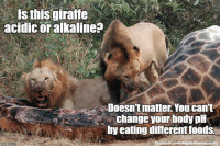 Bloods, Dieting, and Memes: Is this giraffe  acidic or alkaline?  Doesn't matter. You can't  change your body pH  by eating differentfoods.  oe book memesaciety Your body has only a very narrow pH range in which it can function healthily, so it's fortunate that diet does not have any real effect on your body's pH level. When your blood is above or below pH 7.35-7.45 it is a serious medical condition that requires immediate treatment. For these reasons, your body has robust methods of maintaining its pH level. https://labtestsonline.org/understanding/conditions/acidosis/ (Image: Harvey Barrison (CC))