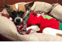 Memes, 🤖, and Ark: Is this your dog? Do you know this dog? This dog was found on 5th Ave in Rockford, IL. He is an older unneutered male chihuahua. He is not available for adoption. Please call Noah's ark if you know this dog 815-962-2767