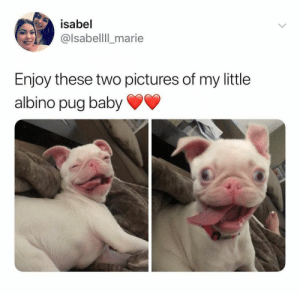 Animals, Dogs, and Memes: isabel  @lsabellll_marie  Enjoy these two pictures of my little  albino pug baby Dog Memes Of The Day 32 Pics – Ep43 #dogs #dogmemes #lovelyanimalsworld - Lovely Animals World