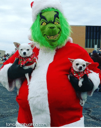 Chihuahua, Memes, and 🤖: Isases  famodsChihuahua.com  famou Scbinuahua Have you seen all the cute Chihuahua Christmas pictures at FamousChihuahua.com? YOU GOTTA SEE THEM! Visit www.famouschihuahua.com today! #chihuahua #chihuahuapuppy #chihuahualove #christmaschihuahua #sharethelove #famouschihuahua #christmasdog #christmaseve #christmasfun #christmaslove #christmaspuppy #socute #chihuahuasofinstagram #grinch #grinchmas