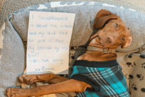 Animals, Dad, and Funny: ISwallowed  a dead rat whole  and my dad had  bo pull out  throat by  tail!  -hm not son  xx Rosie 42 Funny Dog Memes That'll Make Your Day! - Lovely Animals World