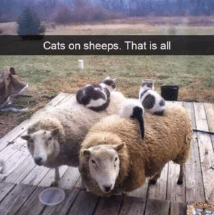 it's cats on sheep: it's cats on sheep