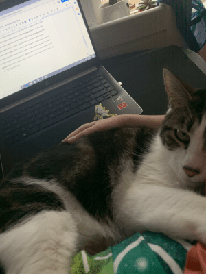 It's not easy trying to type Question 1 practice for AP Lit when you have a cat who wants attention: It's not easy trying to type Question 1 practice for AP Lit when you have a cat who wants attention