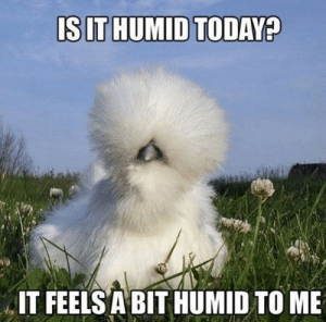 Funny, Memes, and Chicken: IT FEELS A BIT HUMID TO ME This chicken needs a Brazilian blowout! __Funny Beauty Memes | POPSUGAR Beauty Photo 48
