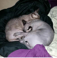 It never ceases to amaze me how these two can destroy a well made bed then crash out like they pay the bills 😂 I had to sit on the floor cats sphynx catsofinstagram nakedcatsofinstagram chu touya catitude: It never ceases to amaze me how these two can destroy a well made bed then crash out like they pay the bills 😂 I had to sit on the floor cats sphynx catsofinstagram nakedcatsofinstagram chu touya catitude