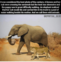 Animals, Memes, and Respect: it was considered the best photo of the century. A lioness and her  cub were crossing the savannah but the heat was obsessive and  the puppy was in great difficulty walking. An elephant realized  that her cub would die and carried him in his trunk to a pool of  water walking beside his mother. And we call them wild animals.  aSPIRITUAL BLOG incredible, you are the first person I thought of @kristinbauer #respect #Repost @dark_universe_09 ・・・ This made me smile. Another reason why we shouldn't be eating animals. 💚  #dark_universe_09