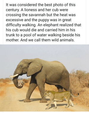 Animals, Facebook, and Funny: It was considered the best photo of this  century. A lioness and her cub were  crossing the savannah but the heat was  excessive and the puppy was in great  difficulty walking. An elephant realized that  his cub would die and carried him in his  trunk to a pool of water walking beside his  mother. And we call them wild animals. Just saw this on Facebook being passed off as a real image. I cant cope 😂 via /r/funny https://ift.tt/2QDpQcu
