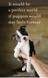 Memes, Puppies, and Forever: It would be  a perfect world  if puppies would  stay little forever.  purple clover.com