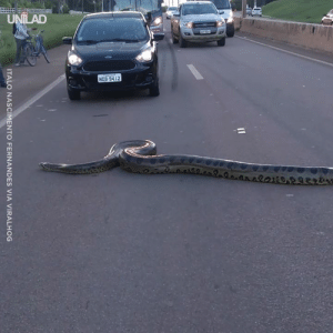 These people stopped the traffic to help this huge anaconda cross the road 👏🐍: ITALO NASCIMENTO FERNANDES VIA VIRALHOG These people stopped the traffic to help this huge anaconda cross the road 👏🐍